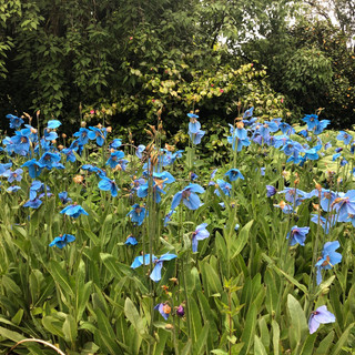 Meconopsis group