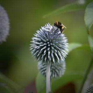 Bee on Echinops.jpg