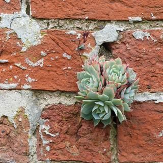 Sempervivum on wall