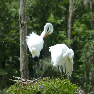 White Egrets on nest