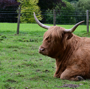 Highland Cow at rest 2