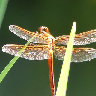Ethereal Dragonfly