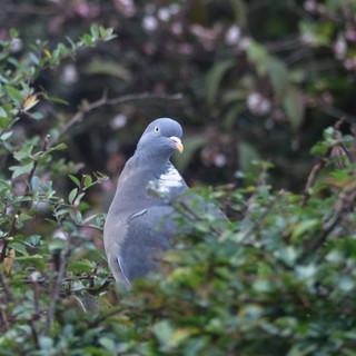 Surprised Wood Pigeon