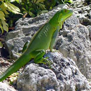 Green iguana and friend