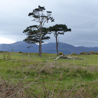 Scots Pine Trees and Mourne Mountains