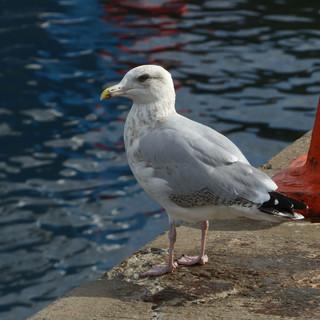 Gull on quayside