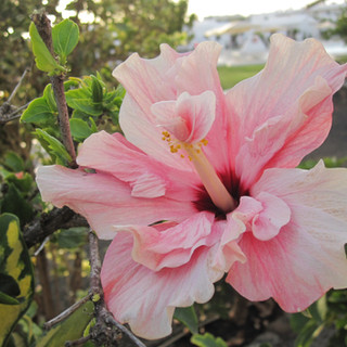 Hibiscus pale pink
