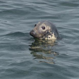 Ardglass Grey Seal