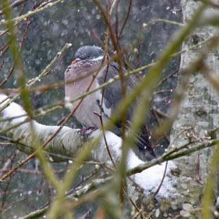 Snowy Wood pigeon