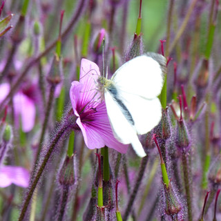 White butterfly on Geranium Maderense