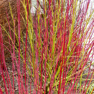 Winter Cornus stems