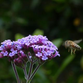 Bee flying to Verbena Bonariensis