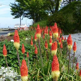 Red Hot Pokers by the seaside