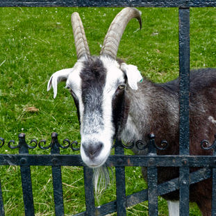 Goat at a gate