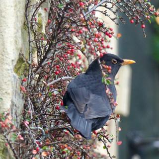 Blackbird enjoying cotoneaster berries