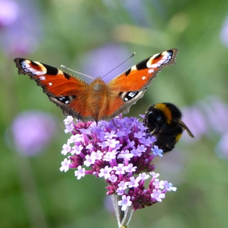 Peacock Butterfly and Bee on Verbena Bonariensis