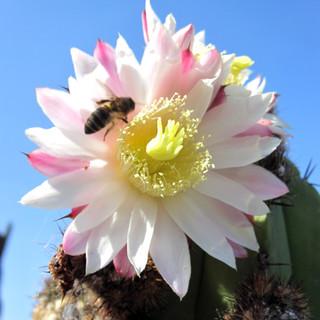 Bee on Cactus Flower
