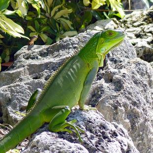 Green iguana and friend close up