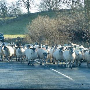 Yorkshire Sheep Jam colour