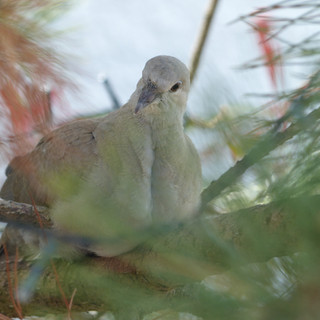 Coy collared dove
