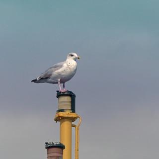 Gull on mast