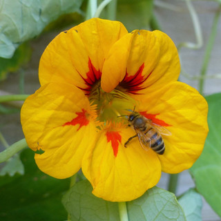 Wasp on Nasturtium