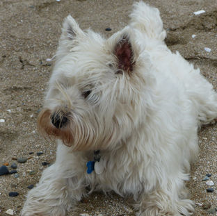 Westie playing on the beach