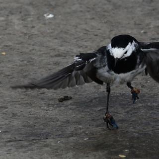 Wagtail landing