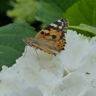Painted Lady on white hydragea