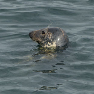 Grey seal side view