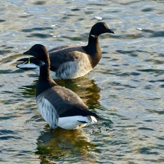 Paddling Brent geese