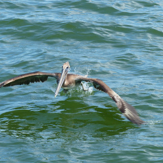 Swooping pelican