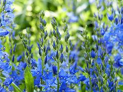 bluebells-4036911_1920.jpg