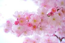 japanese-cherry-trees-324175_1920 (1).jp