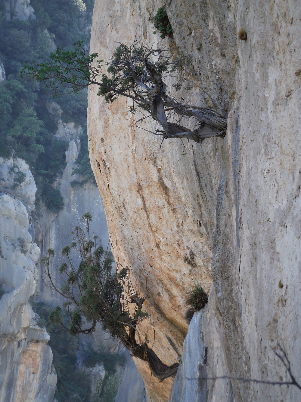 Juniperus oxycedrus du verdon