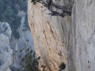 Juniperus oxycedrus: le Cade