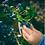 "Thumbnail: Blueberry Pomegranate ""Eldridge"" - 6 Pack"