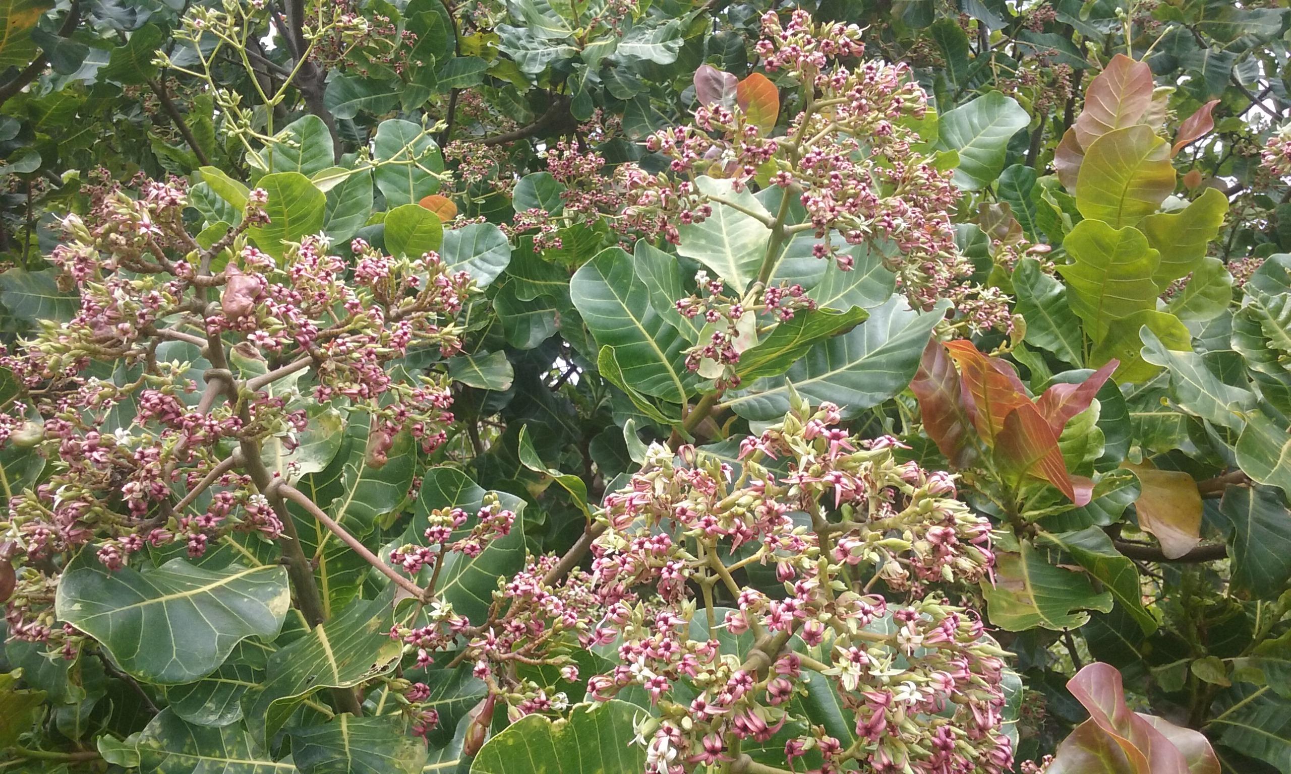 2019 Cashew Flowers
