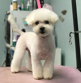 Bichon in short pet trim