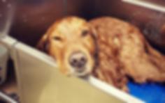 Golden retriever in tub