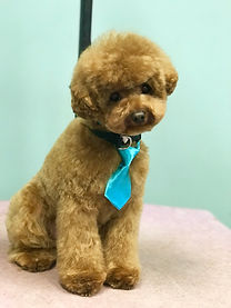 Red toy poodle gromed in asian fusion style
