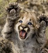lionskittens
