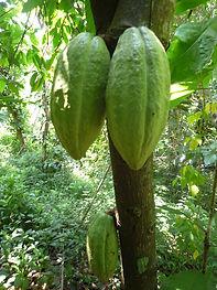 greencacao