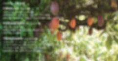 カカオ豆主要三種・クリオロ種、ファステロ種、トリニタリオ種