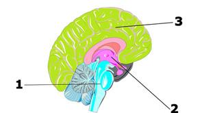 Connaissez-vous vos 3 cerveaux ?