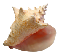 conch3.png