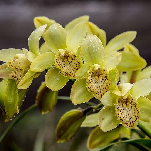 Standard Lime-Green Cymbidium Orchid