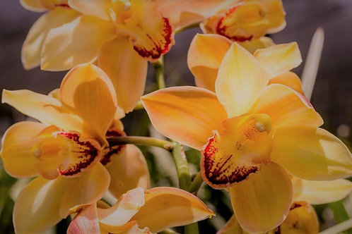 Cascading Orange Cymbidium Orchid