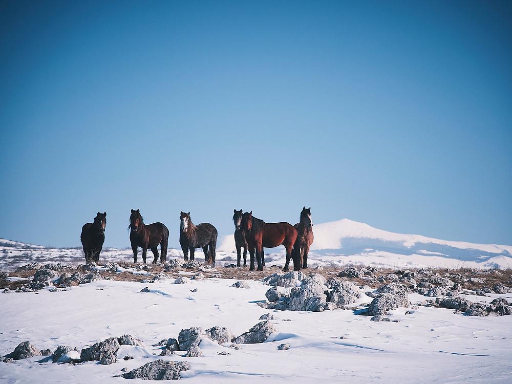 Bosnie, chevaux sauvages Livno