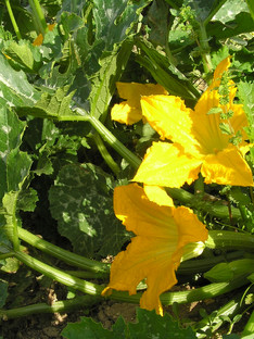 Flowes of zuccini